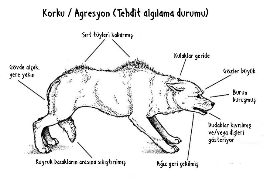 kopeginizin_vucut_dili